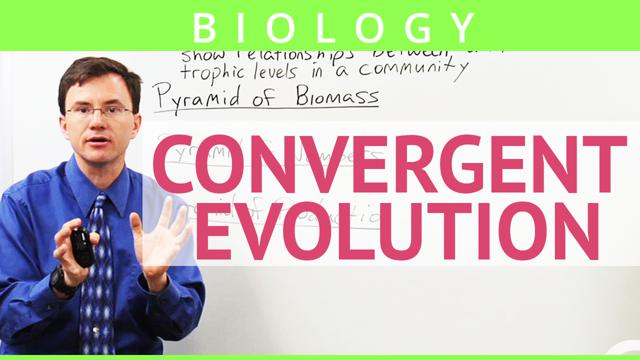 convergent evolution 3 essay Convergent evolution is the phenomenon where the same rough shape evolves in the same environmental niche: relatively large flaps of tissue are very good for gliding and flying, so they have evolved in mammals, marsupials, birds, insects, and even some fish.