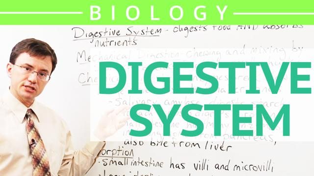 ap biology digestive system essay The circulatory, respiratory, digestive, excretory and musculoskeletal systems chapter of this ap biology tutoring solution is a flexible and affordable path to learning about these systems.